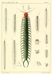 Scolopendria gigantea - giant venomous centipede