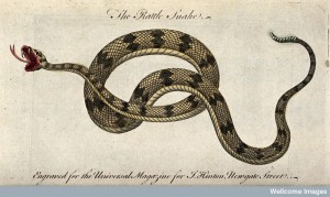 Etching of a rattlesnake