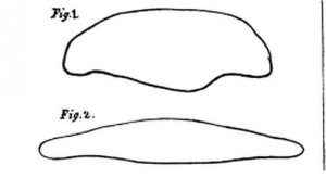 Drawing of tongue section
