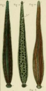 Three leeches