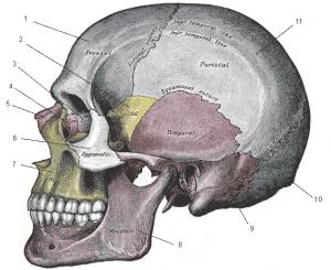 Gray's Anatomy skull