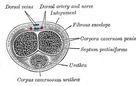 penis diagram