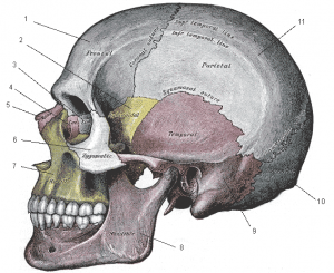 diagram of the skull