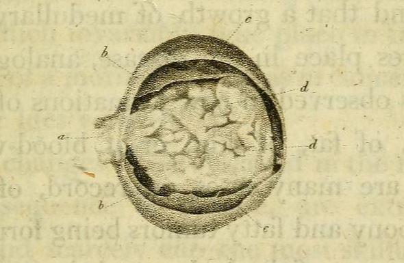 fungus haematode