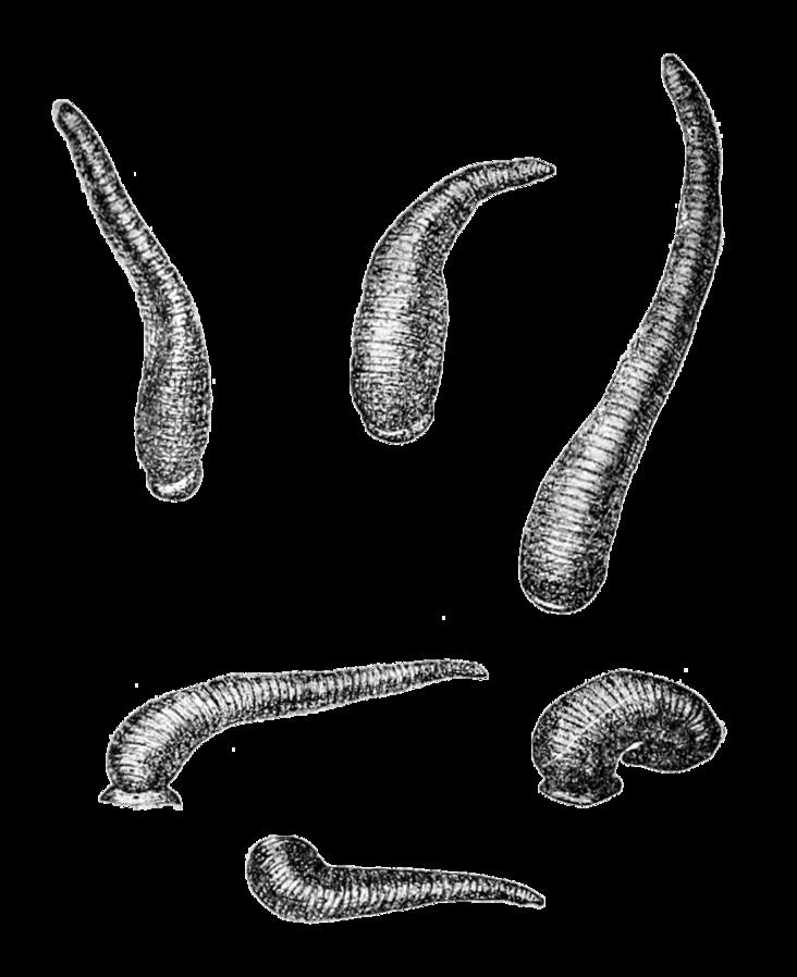 Limnatis nilotica