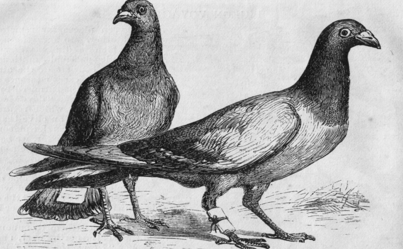 The pigeon's rump cure